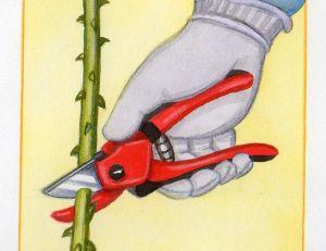 Connaitre les notions de base pour tailler ses rosiers