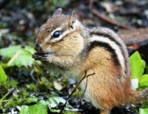 Écureuil de Corée ou tamia