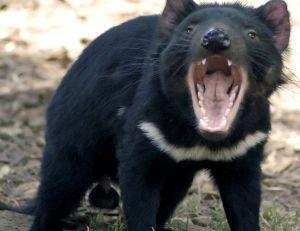 Diable de Tasmanie ©Wayne McLean