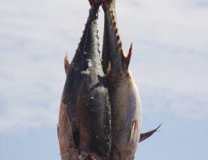 L'orque est un super prédateur des thons