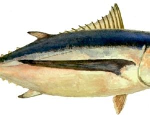 Le Germon ou thon blanc