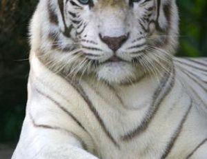 Tigre blanc adulte