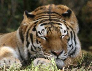 Le tigre et les hommes