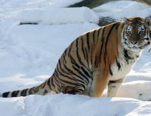 Tigre de Sibérie adulte