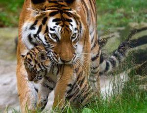 Tigresse et son tigreau