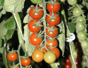 "Tomate cerise ""Cherry Truss"""