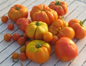 Réussir sa culture de tomates