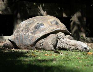 Tortue d'Aldabra