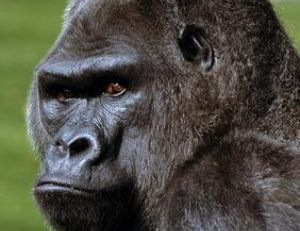 Gare aux gorilles…!