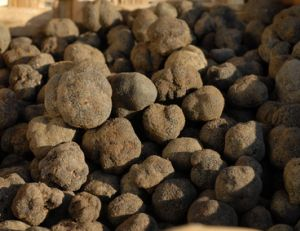 Cueillir et acheter des truffes