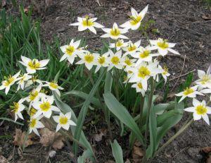 Tulipes botaniques T. turkestanica