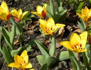 Tulipes hybrides Kaufmanniana