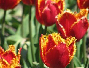 Tulipes hybrides Perroquets