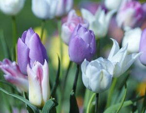 Idées pour un jardin en violet