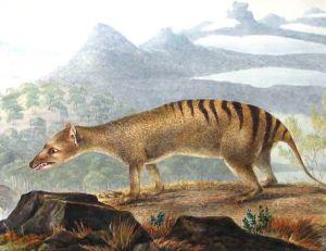 Thylacine, John Lewin, 1817