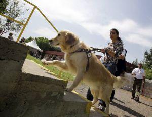 Un chien guide d'aveugle - copyright iStock