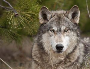 Loup et chien sont de la même espèce