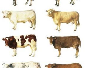8, parmi les quelques centaines de races de vaches existant dans le monde