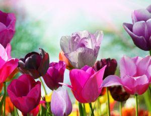 Les différentes variétés de tulipes