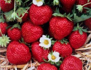 vari t s des fraises conna tre et reconna tre les. Black Bedroom Furniture Sets. Home Design Ideas