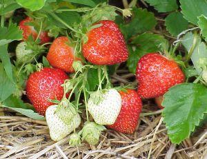 Connaître les variétés de fraises