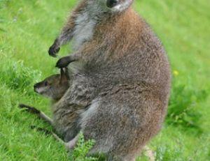 Les wallabies sont des cousins des kangourous