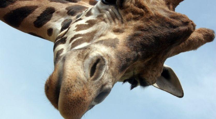 Girafe mâle adulte