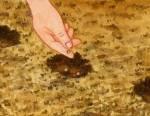 Le semis des capucines