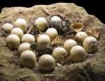 Reconstitution d'une « couvée » de dinosaure