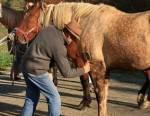 Utilisation de l'étrille pour panser un cheval