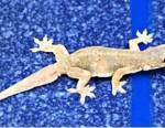 Un phyllodactyle d'Europe s'étant aventuré sur la moquette tapissant les cloisons d'un appartement