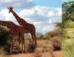 Girafes réticulées (à gauche) et girafes Masaïs (à droite)
