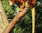 Le kangourou arboricole ne se rencontre lui qu'en Nouvelle Guinée et en Indonésie