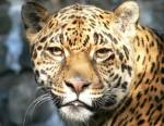 Le jaguar, seigneur des jungles amazoniennes