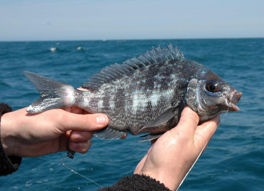 Agenda du p cheur quand p cher quel poisson - Peche du poisson chat au coup ...