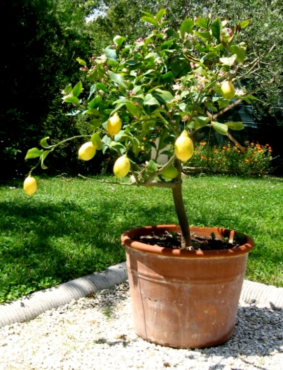 comment planter un citronnier en pot