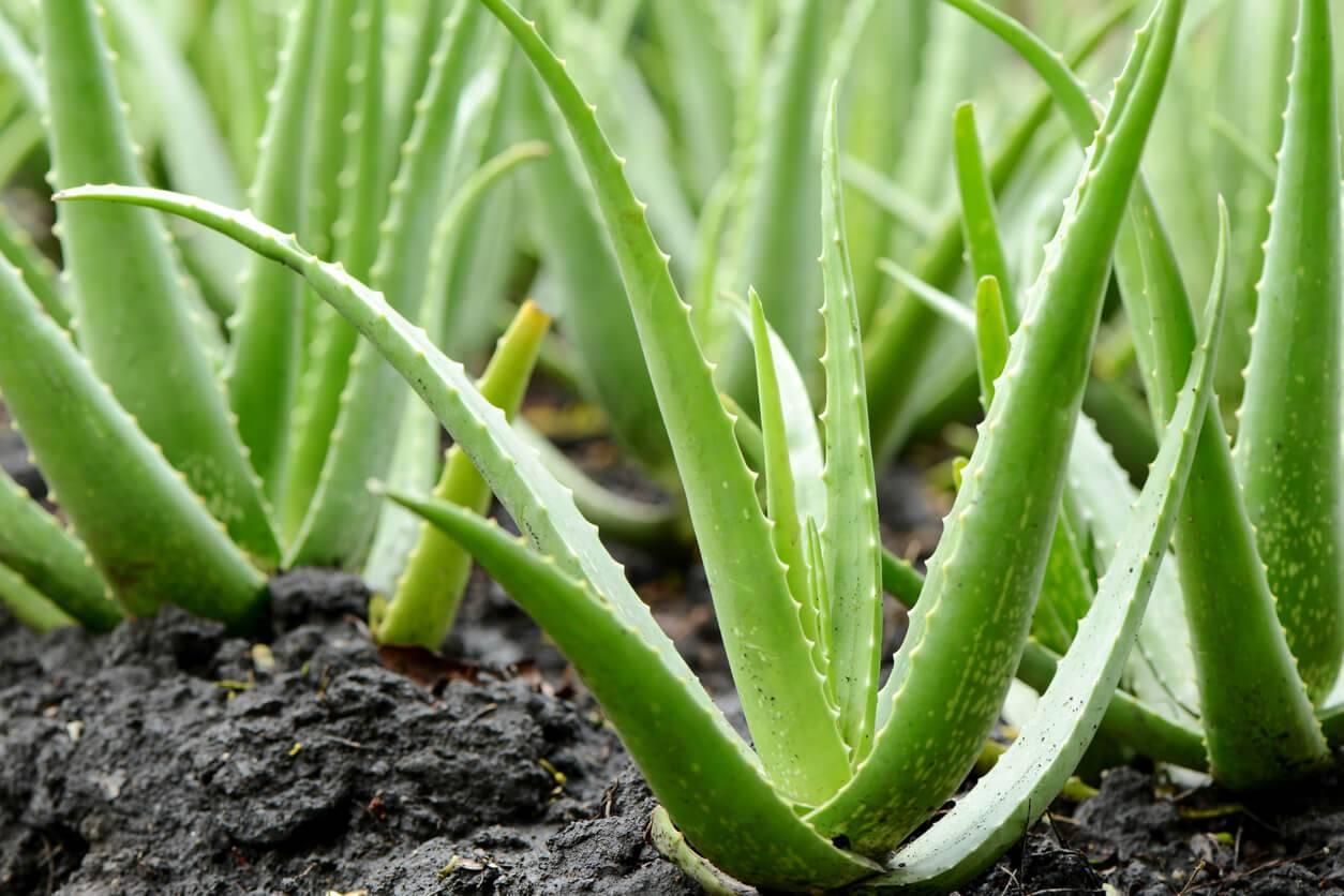 Comment Entretenir Une Plante Aloe Vera aloe vera : plantation, entretien et récolte | pratique.fr