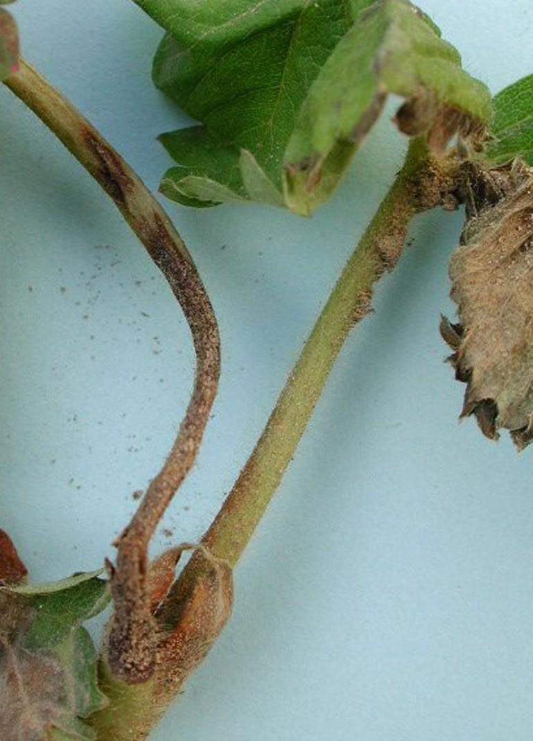 reconna tre les maladies et ravageurs et mieux traiter les plantes. Black Bedroom Furniture Sets. Home Design Ideas