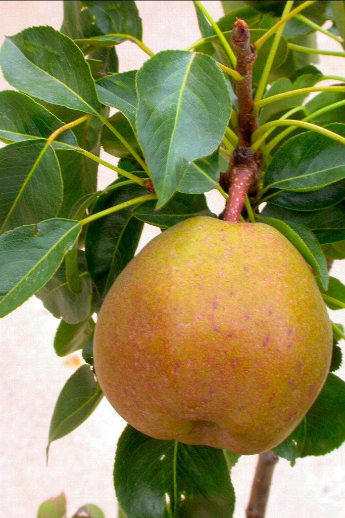 Arbres fruitiers pour petits jardins - Arbre fruitier petite taille ...