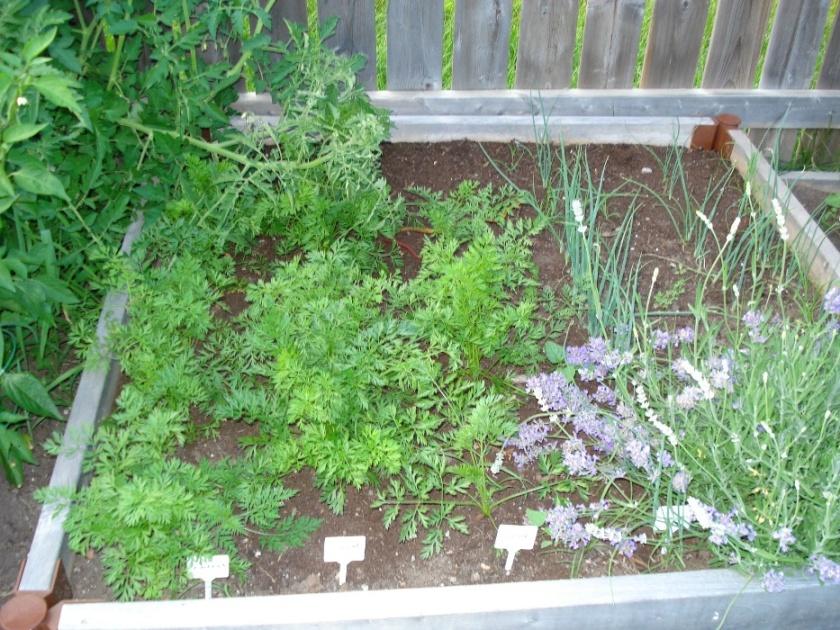 L gumes et fleurs les bonnes associations au potager - Association des legumes au potager ...