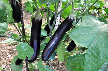 aubergine planter cultiver et r colter des aubergines. Black Bedroom Furniture Sets. Home Design Ideas
