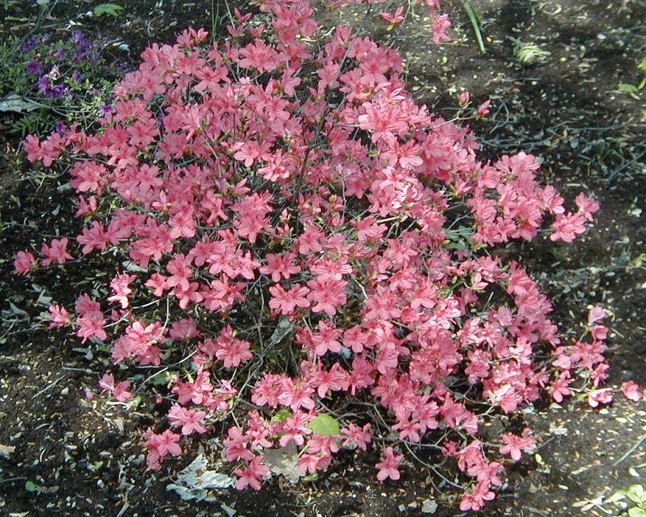culture azal 233 e planter et cultiver des azal 233 es dans jardin pratique fr