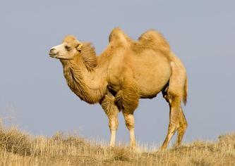 Chameau tout savoir sur le chameau de bactriane for Dujardin qui fait le chameau