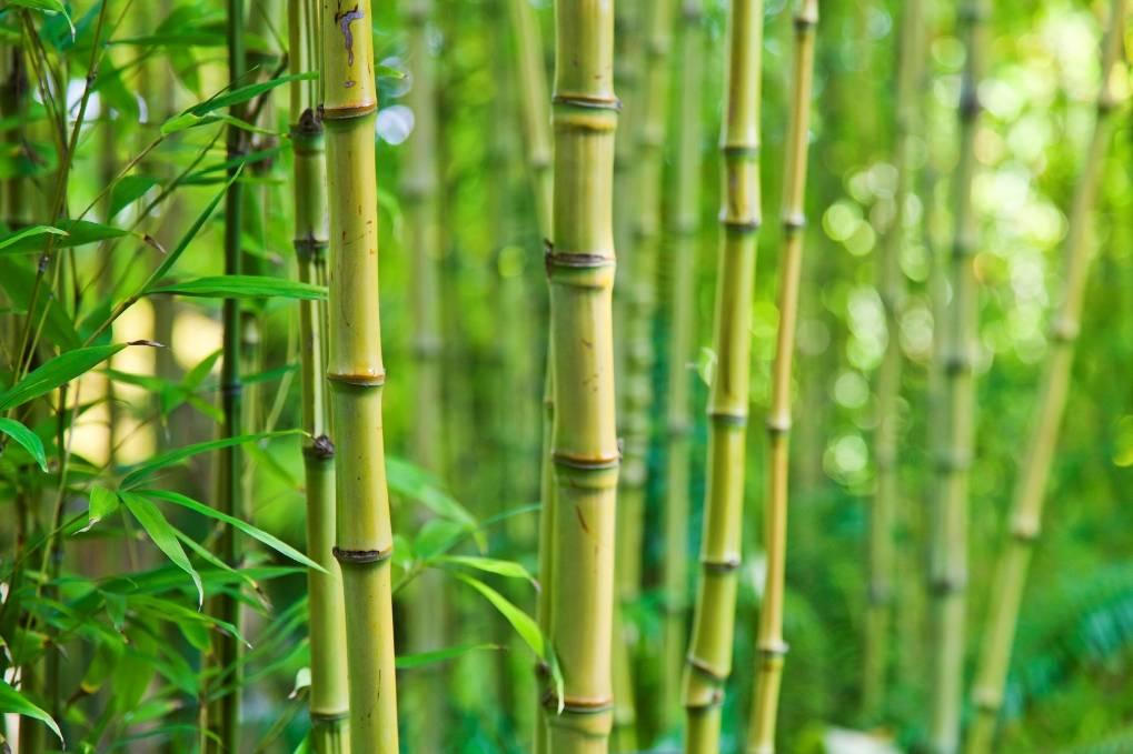 Ces vari t s de bambou adapt es au balcon - Que planter sur son balcon ...