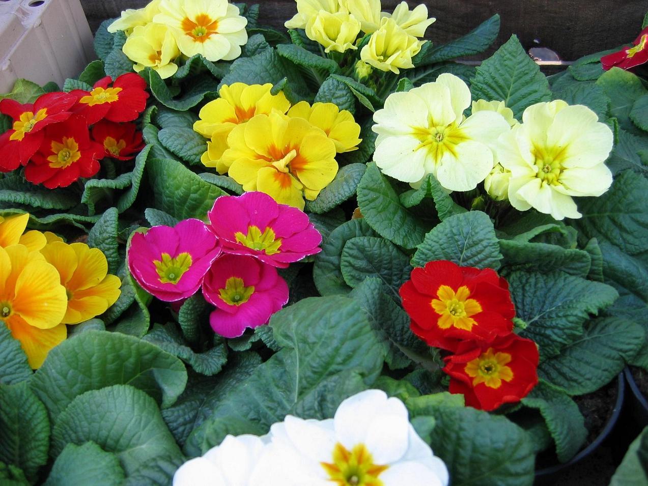 Fleurs bisannuelles vari t plantation et entretien des fleurs bisannuelles - Pensee fleur vivace ou annuelle ...