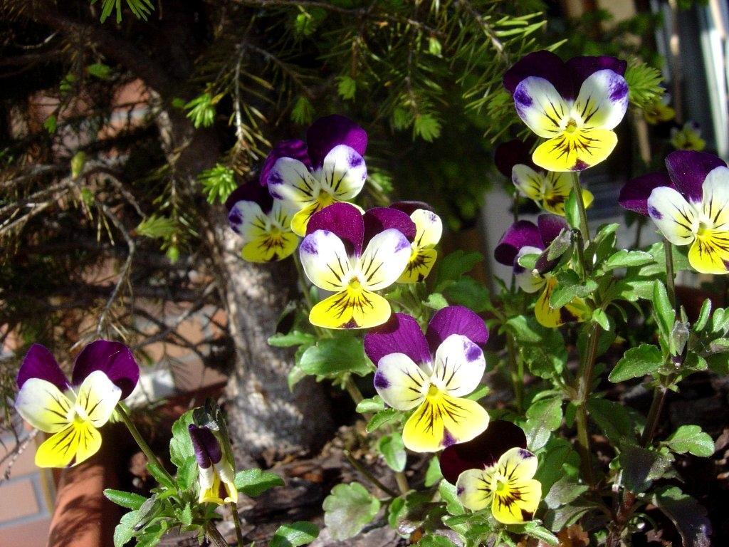 Fleurs bisannuelles vari t plantation et entretien des for Plantation de fleurs