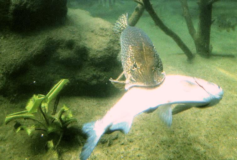Cet norme poisson mange des pigeons silure zapping for Que manger avec des quenelles