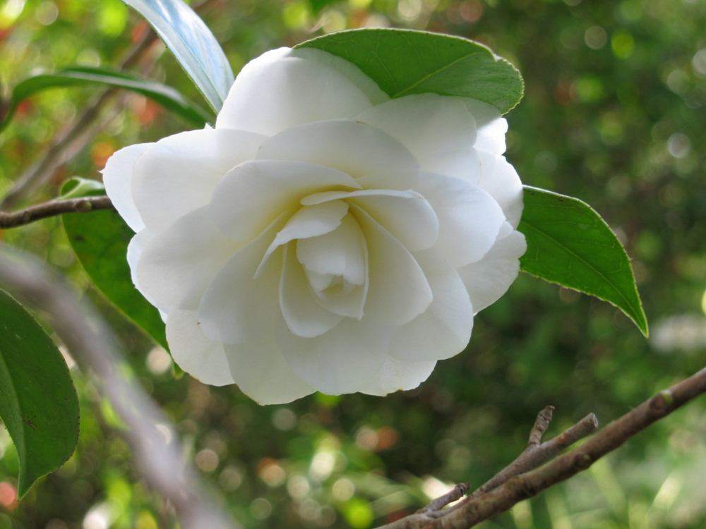 Cam lias des fleurs pleines d 39 l gance - Cuidados de la camelia japonica ...