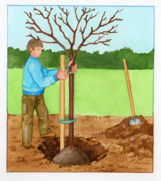 planter un prunus