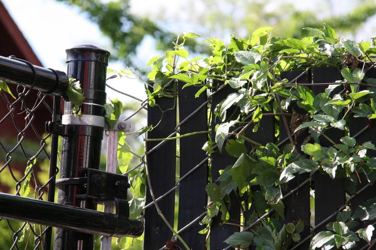 Choisir des plantes grimpantes pour son grillage de jardin for Treillage pour plantes grimpantes